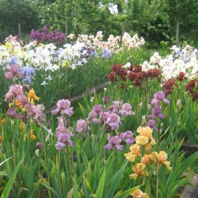 Irises growing in their beds at Marshgate House