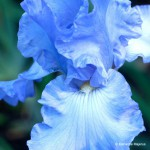 Bryan's Best Blue - Tall Bearded Iris