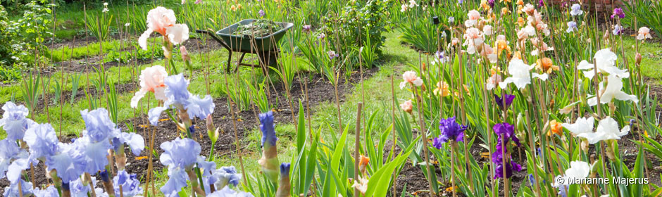 British Tall Bearded Irises