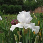 Designer's Choice White Iris