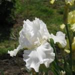 Iceland Gull White Iris