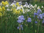 Bearded Irises at Marshgate - different colour combinations