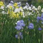 Irises at Marshgate