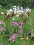 Bearded Irises at Marshgate - contrasting colours