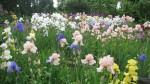 Classic British Bearded Irises at Marshgate