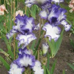 Monsal Dale White Purple Iris
