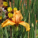 Orange Seedling Iris
