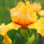 Orange Seedling Iris 2