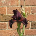 Red Kite Tall Bearded Iris