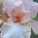 Sherwood Dawn Pink and Orange Iris