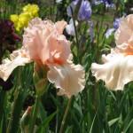 Sherwood Pink Iris