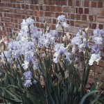 Swaledale White Blue Irises