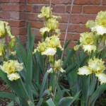 Yellow Frill Irises