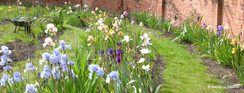 Irises grown at Marshgate House, Norfolk