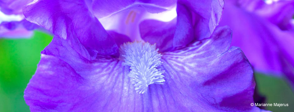 Purple iris close-up