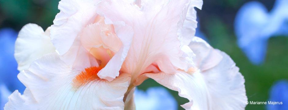 Pink Iris Close-up