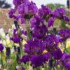 Blaeberry Pie Award Winning British Bearded Irises - Full impact when planted as a group