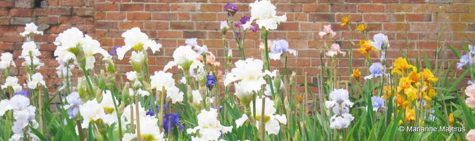 British Tall Bearded Irises