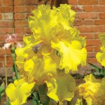 Charnwood Delight Tall Bearded Iris