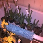 Keeping the irises cool!