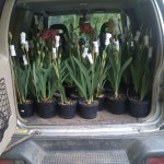 Irises ready to go to Chelsea 2015
