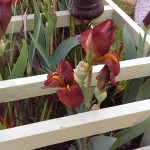 Our Red Pike iris at Chelsea 2015