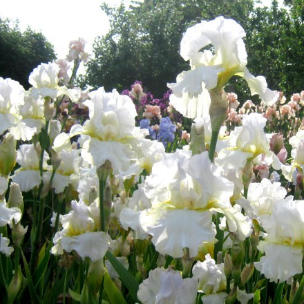 Darley Dale Tall Bearded Iris