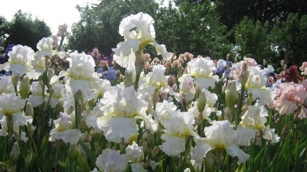 Darley Dale White Tall Bearded Iris grown in a 'drift'