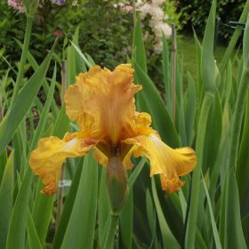 Givendale Brown/Tan Tall Bearded Iris
