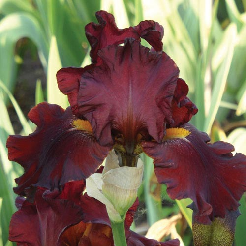 Henry Sidgwick Tall Bearded Iris