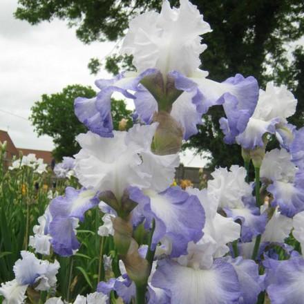 Ice Pinnacle Tall Bearded Iris