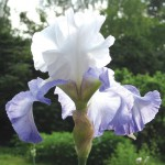 Ice Pinnacle Tall Bearded Iris