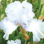 Jean Wall Tall Bearded Iris