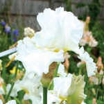 Jessica Rosalind Tall Bearded Iris