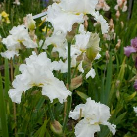 Jessica Rosalind White Tall Bearded Iris