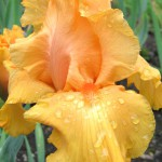 Old Hall Tall Bearded Iris