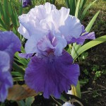 Peile Hall Tall Bearded Iris
