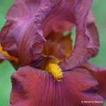Red Pike Tall Bearded Iris