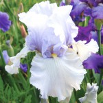 Tisha Tall Bearded Iris