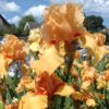 William of Orange Tall Bearded Iris