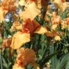 William of Orange Tall Bearded Iris