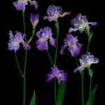 RHS Photography Gold Medal (Annabel Jane Group) Bearded Iris -Polina Plotnikova. An example of great branching.