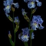 RHS Photography Gold Medal (Bryan's Best Blue) Bearded Iris -Polina Plotnikova