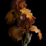 RHS Photography Gold Medal (Givendale) Bearded Iris -Polina Plotnikova