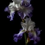RHS Photography Gold Medal (High Peak) Bearded Iris -Polina Plotnikova