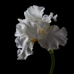 RHS Photography Gold Medal (Jessica Rosalind) Bearded Iris -Polina Plotnikova