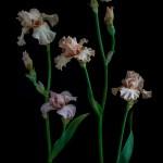 RHS Photography Gold Medal (Sherwood Pink Group) Bearded Iris -Polina Plotnikova
