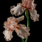 RHS Photography Gold Medal (Sherwood Pink) Bearded Iris -Polina Plotnikova