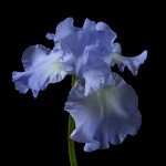RHS Photography Gold Medal (Skye Blue) Bearded Iris -Polina Plotnikova