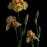 RHS Photography Gold Medal (William of Ortange) Bearded Iris -Polina Plotnikova